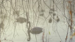 Through the branches of willow swans swim in slow motion Stock Footage