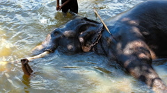 Mahout rinsing his elephant in the river Stock Footage