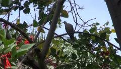 Eurasian Collared Dove perched on the tree in tropical park Stock Footage