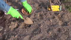 Gardener wearing green rubber gloves planting crocus bulbs in the ground Stock Footage