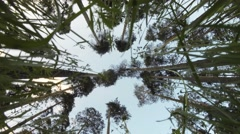 The tops of pine trees and tips of blades against the sky - stock footage