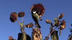 Marsh tit and Great tit flying eating and perching on sunflower Stock Footage