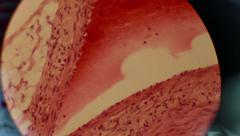 The Cell Tissue Under a Microscope Stock Footage