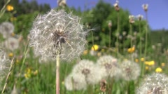 Dandelion fluff and yellow flowers in the warm summer wind 92 Stock Footage