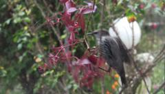 Starlings who tried to go nibble fruit of ivy 10b Stock Footage