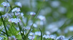 "Traveling through blue flowers ""forget me not"" 9555 Stock Footage"
