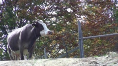 Heifer go on the road while ruminating 36 Stock Footage