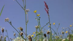 Sorrel, dandelion fluff and yellow flowers in the warm summer wind Stock Footage