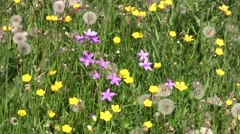 Field with purple flowers, yellow flowers and dandelions 83 Stock Footage