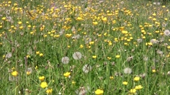 Field with white and yellow wildflowers 76 Stock Footage