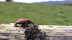 Beetle goes on a wooden beam 15 Stock Footage