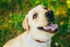 Stock Photo of Close up of white Labrador Retriever Dog
