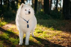 Happy White Samoyed Dog Outdoor in Park Stock Photos