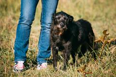 Small Size Black Mixed Breed Dog Staying Near Owner - stock photo