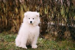White Samoyed Puppy Dog Outdoor in Park - stock photo