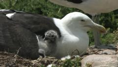 Seagull chick under mother's wing. Stock Footage