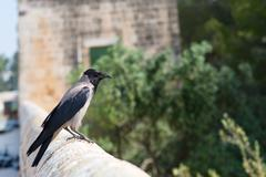 Hooded Crow in Israel - stock photo