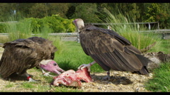 4K Vultures feeding on an animal carcass in natural outdoor environment. - stock footage