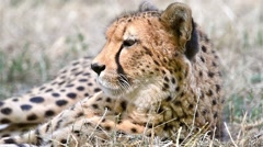 Wild Cheetah In Africa Stock Footage