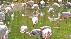 Pink Flamingos In Wilderness Stock Footage