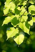 Linden, Small-leaved Lime - stock photo