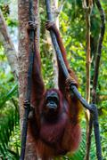 Orang Utan hanging on a tree in the jungle, Indonesia - stock photo