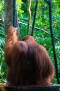 Alpha Male Orang Utan hanging on a tree in the jungle, Indonesia - stock photo