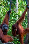 two Orang Utan hanging on a tree in the jungle, Indonesia - stock photo