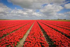 Tulip cultivation in the Netherlands - stock photo