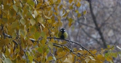 Tit sitting on a branch of yellow birch in autumn Stock Footage