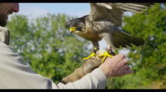 4K Tethered bird of prey tears into a meal of dead rodent - stock footage