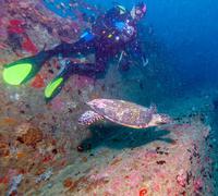 The Hawksbill Turtle (Eretmochelys imbricata) near Corals Stock Photos