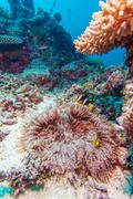 Yellowtail Clown Fish with Sea Anemone - stock photo