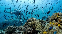 Damsel fish with divers behind Stock Footage