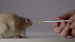 Rat taking medicine - Small animal research and veterinarian - stock footage