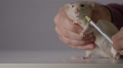 Rat taking medicine - Small animal research and veterinarian Stock Footage