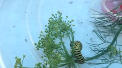 Swallowtail caterpillar moving on a dill - stock footage