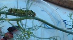 Swallowtail caterpillar moving on a dill Stock Footage