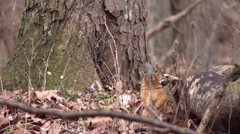 Fox squirrel on forest floor autumn fall Stock Footage