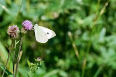 White butterfly sitting on the thistle - stock photo