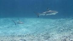 Two Juvenile blacktip reef sharks - stock footage