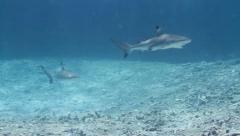 Two Juvenile blacktip reef sharks Stock Footage