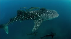 Whaleshark with cobia entourage - stock footage