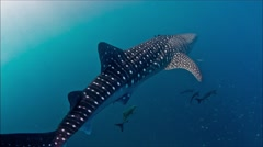 Whaleshark swimming off - stock footage