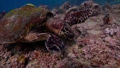 Hawksbill turtle munching Stock Footage