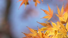 Red maple leaves fluttering in the wind in a city park, Tokyo Stock Footage
