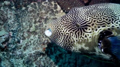 Starry pufferfish munching Stock Footage