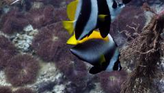 Two species of Bannerfish together - stock footage