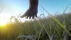 Male hand touching a golden wheat ear in the wheat rice field, sunset light, Stock Footage
