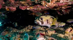 Juvenile porcupinefish on artificial reef Stock Footage